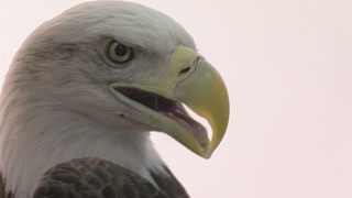 Rehabilitated eagle released at Pioneer Trails