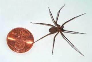 PHOTOS: Black widow and brown recluse spiders