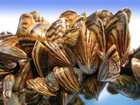 Iowa urges boaters to combat zebra mussels