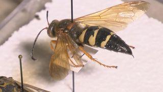 Cicada killer wasps creating a buzz