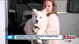 Humane Society saves 18 Samoyeds from puppy mill